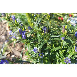 Small Image of Gentiana pneumonanthe 17cm Pot Size
