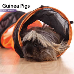 Small Image of Guinea Pigs 12 Month 2016 Mini Calendar