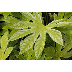 Small Image of Fatsia japonica 'Spiders Web' 19cm Pot Size