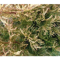 Small Image of Thuja plicata 'Copper Kettle' 19cm Pot Size