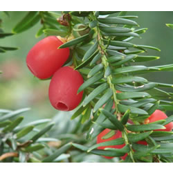 Small Image of Taxus baccata 15cm Pot Size