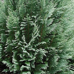 Small Image of Chamaecyparis lawsoniana 'White Spot' 13cm Pot Size