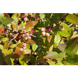 Small Image of Blueberry Vaccinium corymbosum Blueberry  'Patriot'  19cm Pot Size