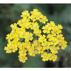 Small Image of Achillea 'Terracotta' 19cm Pot Size