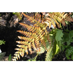 Small Image of Dryopteris erythosora 15 cm Pot Size