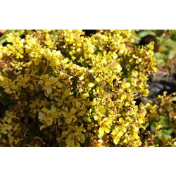 Small Image of Berberis thunbergii 'Aurea' 19cm Pot Size