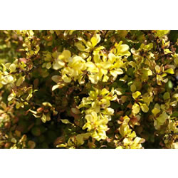 Small Image of Berberis 'Aurea Nana' 19cm Pot Size