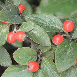 Small Image of Cotoneaster franchetti 19cm Pot Size