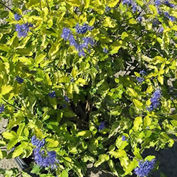 Small Image of Caryopteris 'Sunshine Blue' 12cm Pot Size