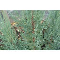 Small Image of Juniperus scopulorum 'Blue Arrow' 19cm Pot Size