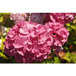 Small Image of Hydrangea macrophylla 'King George' 19cm Pot Size