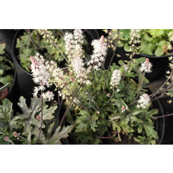 Small Image of Tiarella 'Pink Sky Rocket' 19cm Pot Size