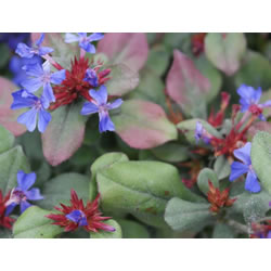 Small Image of Ceratostigma plumbaginoides 19cm Pot Size