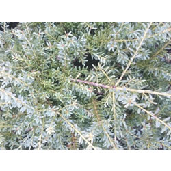 Small Image of Podocarpus alpinus 'Bluey' 19cm Pot Size