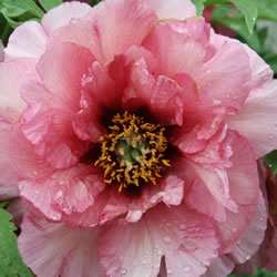Small Image of Japanese Tree Peony Pink 9cm Pot Size