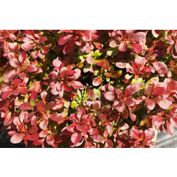 Small Image of Berberis thunbergii 'Atropurpurea Nana' 19cm Pot Size