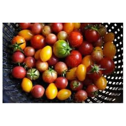 Small Image of Colourful Tomato Collection