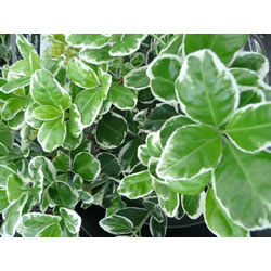 Small Image of Euonymus 'Kathy' 15cm Pot Size
