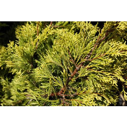 Small Image of Juniperus x media 'Carbery Gold' 19cm Pot Size