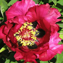 Small Image of Japanese Tree Peony Red 9cm Pot Size