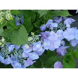 Small Image of Hydrangea macrophylla 'Blue Meise' Lace cap 19cm Pot Size