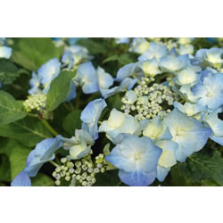 Small Image of Hydrangea macrophylla 'Teller Blue' 19cm Pot Size