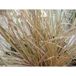 Small Image of Carex 'Comans' 15cm Pot Size