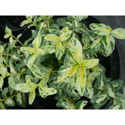 Small Image of Euonymus 'Golden Harlequin' 15cm Pot Size