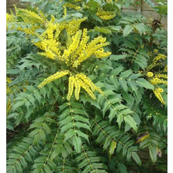 Small Image of Mahonia japonica 19cm Pot Size