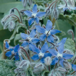 Small Image of Nutley's Thomas Etty Unusual Heritage Herb Seeds Borage