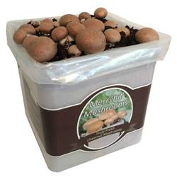 Small Image of Nutley's Fresh Grow Your Own Merryhill Mushroom Kit spawned & already growing