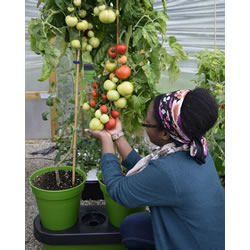 Small Image of Deluxe Tomato Growing Kit