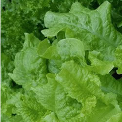 Small Image of Nutley's Thomas Etty Lettuce Black-Seeded Simpson