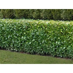 Small Image of 10 x 3ft Grade A Bare Root Laurel Plants With Free Guide