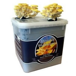 Small Image of Nutley's Fresh Grow Your Own Merryhill Yellow Oyster Mushroom Kit spawned & growing
