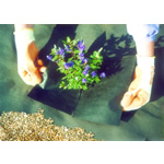 Small Image of Weedban 50 Weed Control Fabric - 10m x 1m