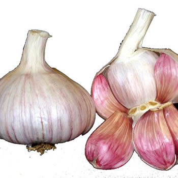 Image of 10x Isle of Wight British Seed Garlic Bulb Lautrec Wight purple French flavour