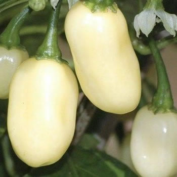 Image of Nutley's Thomas Etty Unusual Heritage Vegetable Seeds Peruvian White Chilli