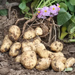 Seed Potatoes - First Earlies Sharpes Express 2.25kg