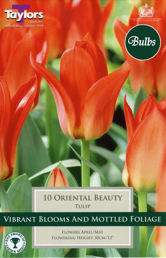 Oriental Beauty Greigii Tulip Bulbs 163 2 24