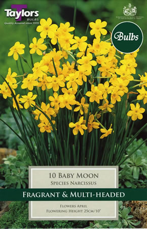 Image of Daffodil Baby Moon Bulbs - Species Narcissi
