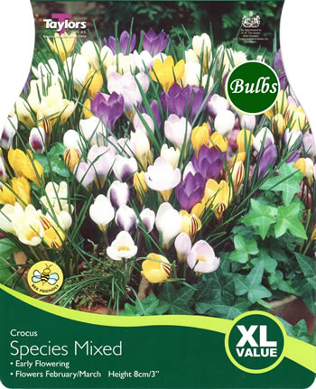 Image of Crocus Species Mixed Bulbs - Blooming Value Crocus Range