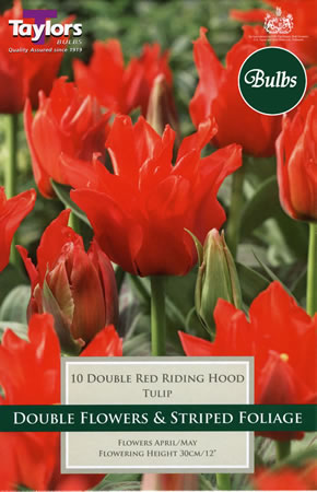 Image of Double Red Riding Hood - Greigii Tulip Bulbs