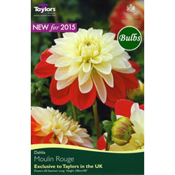 Small Image of Moulin Rouge - Decorative Dahlia Tuber