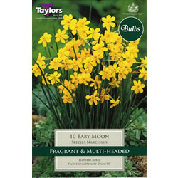 Small Image of Daffodil Baby Moon Bulbs - Species Narcissi
