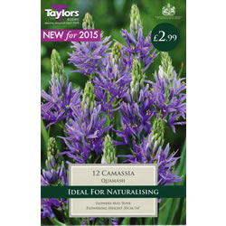 Small Image of Quamash Camassia Bulbs - Native, Woodland & Meadow Variety