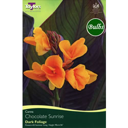 Small Image of Chocolate Sunrise Canna Bulb