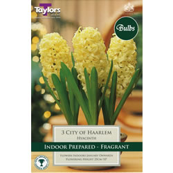 Small Image of Hyacinth Bulbs City of Haarlem  (Fragrant)