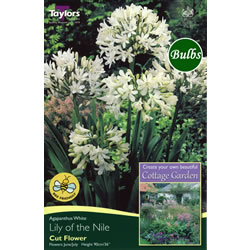 Small Image of Agapanthus White Bulb