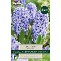 Small Image of Hyacinth Bulbs Delft Blue
